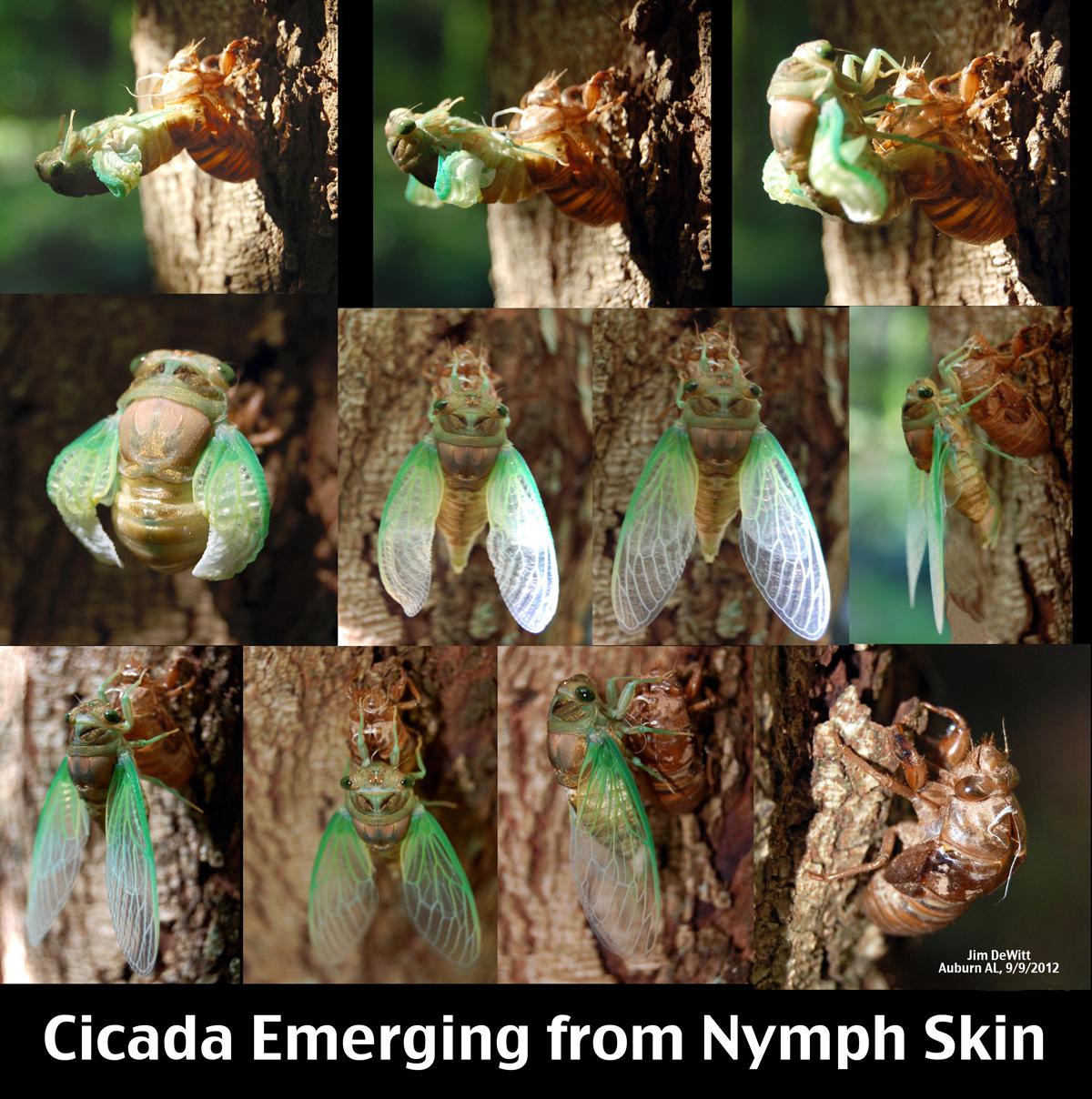 Adult Tzitzika emerging from Nymph Skin