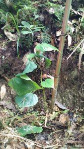 Pipli Tree